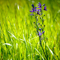 Camas Lily in Grass